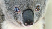 まるでボウイのようなコアラ保護