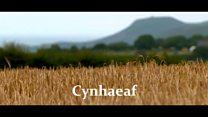 Cynhaeaf