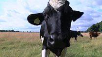 Concern after cows eat rubbish