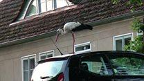 Hooligan stork riles German villagers
