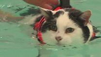 Толстый кот плавает в бассейне