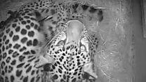 Rare Amur leopards born at zoo