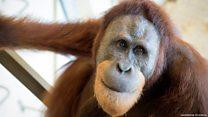 El orangután que sabe pronunciar la A como los humanos