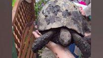 Hattie the tortoise found
