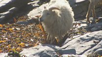 Seaweed-eating sheep festival underway