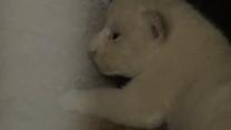 В Тбилисском зоопарке родились трое белых львят