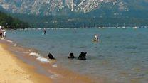 Bear family visits Lake Tahoe beach