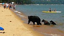 La familia de osos que sorprendió a los bañistas de un lago en California