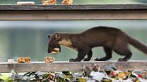 Pine martens eat cake at power station