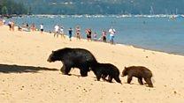 Медведи искупались на пляже в Калифорнии
