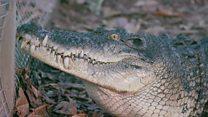 Чем тиморцы обидели священных крокодилов?