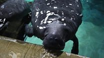 Manatees travel 19,600km to new home in the Caribbean