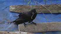 Wild crows demonstrate skills with sticks