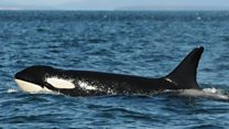Orcas help solve mystery of menopause