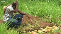 Insecte ravageur au Ghana