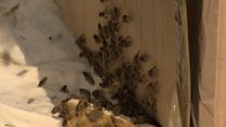 Bee swarm removed from Edinburgh street