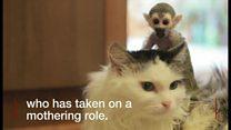 リスザルの赤ちゃん 猫が親代わりに