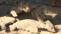 Tigres hambrientos y animales disecados, así era uno de los zoológicos más deprimentes del mundo