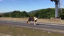 Horse stops traffic on motorway