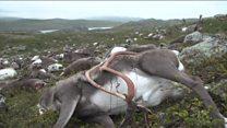 Raios matam mais de 300 renas de uma só vez na Noruega