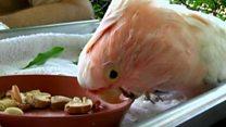 США: старейший розовый какаду умер в зоопарке Брукфилда