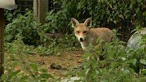 Pet fox 'behaved like a dog'