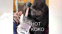 O encontro do baixista do Red Hot Chili Peppers com a gorila Koko