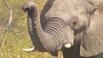 Браконьерство стало серьезной угрозой для африканских слонов
