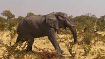 Botswana: les éléphants menacés