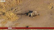 アフリカのゾウ激減 死体があちこちに