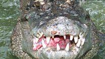 Австралийские полицейские поймали огромного крокодила