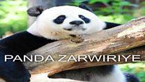 Panda zari ku mushiro zongeye kwororoka
