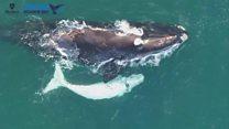 Pesquisadores encontram raro filhote branco de baleia franca