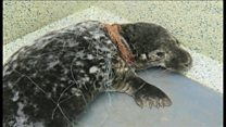 'Ghost' fishing gear threat to seals