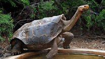 Альфа-самец спас целый вид черепах от вымирания
