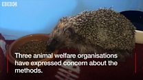Row over hedgehog's research death