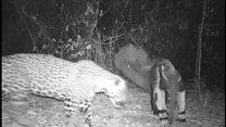 Dia da caça: tamanduá bota onça para correr no Maranhão