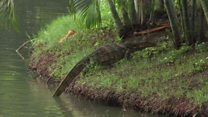The huge lizards taking over Bangkok park