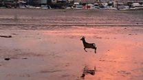 El hipnótico video del ciervo saltando que no puedes dejar de mirar una y otra vez