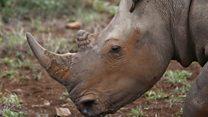 Le rhinocéros de Dimbokro