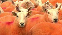 Sheep farmer dyes animals orange