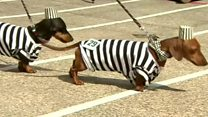Speedy sausage dogs take to the track