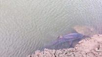 Dayazlıqda ilişib qalan köpək balığı