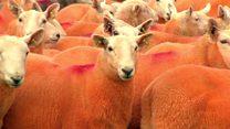 Aprenda inglés: el granjero británico que pinta a sus ovejas de naranja