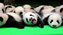 How many baby pandas can you count?