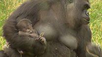 Мать-горилла не пускает к новорожденному детенышу служителей зоопарка
