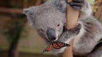 El momento en que una mariposa se queda pegada en la nariz de un koala