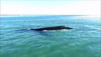 Whale calf 'helps' push mother to safety