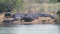 """Listen to hippos """"laughing"""" in an amazing African soundscape"""