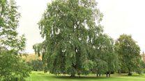 'Extinct' elms found